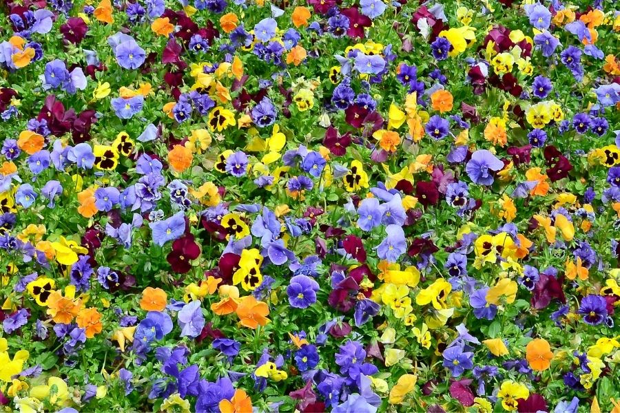 Multicolor Pansy Flowers