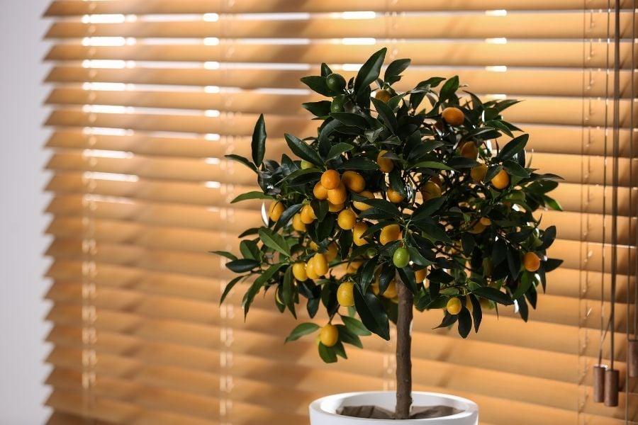 Potted kumquat tree