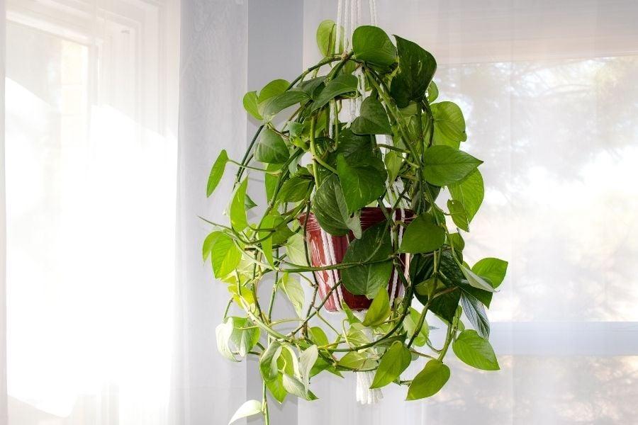 Hanging ivy plant