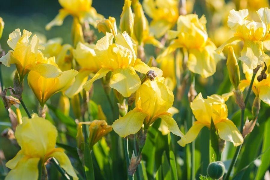 Iris pseudocorus