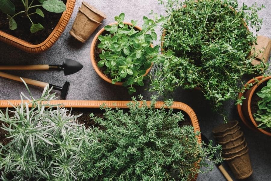herbs tree in pot