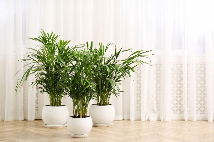 indoor palms
