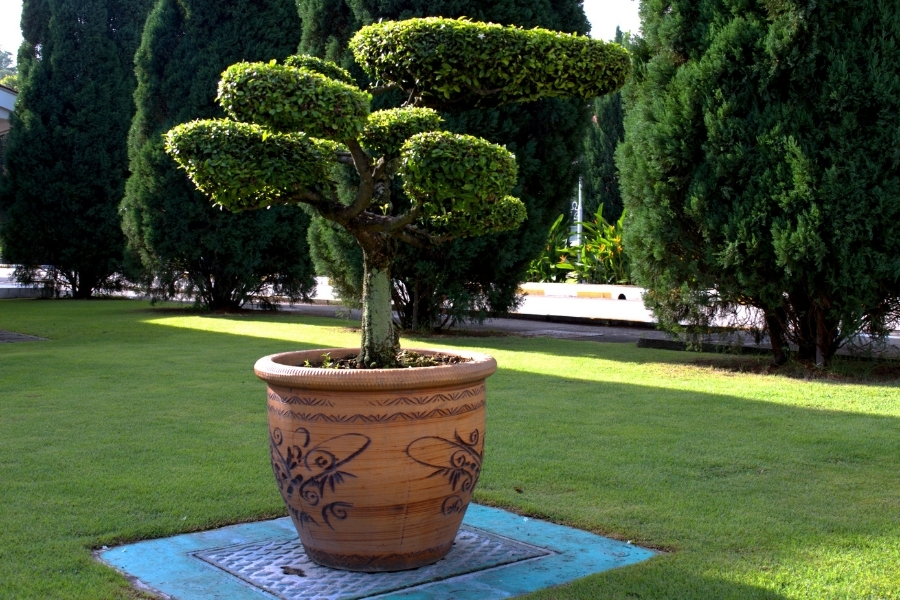 large tree in pot