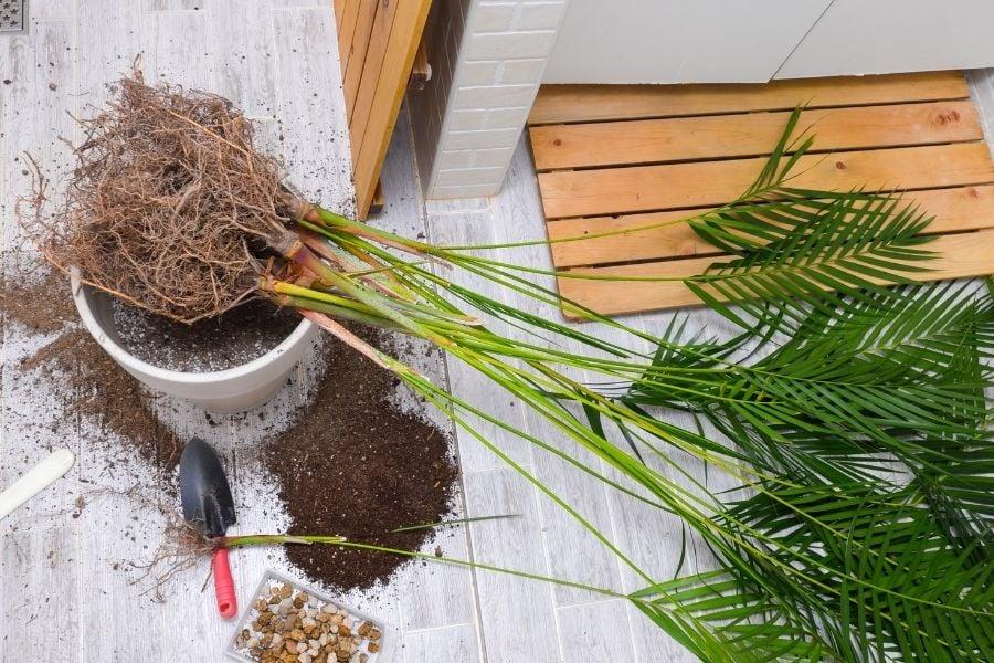 repot indoor palm